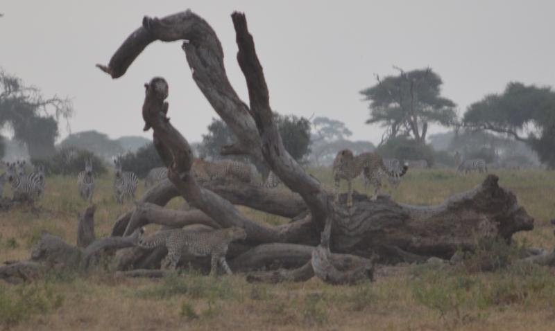cheetah in kenya