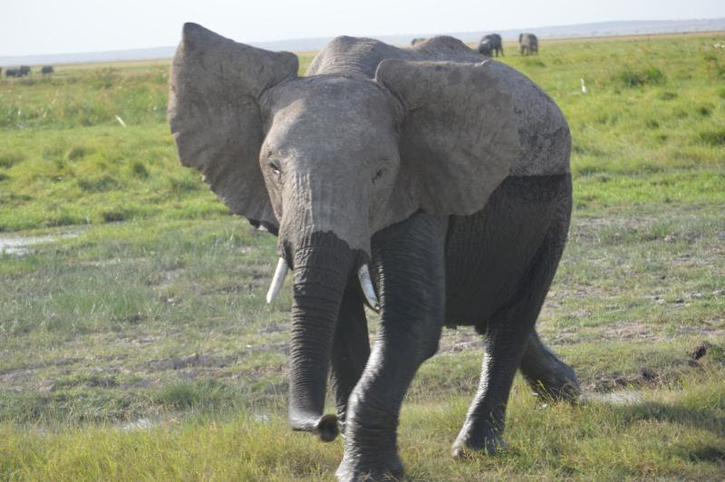 elephant in the wild in kenya