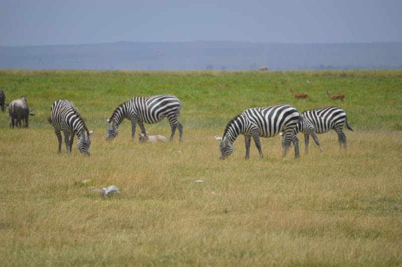 zebras in the wild in Kenya